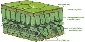 Παρατήρηση Φυτικών Ιστών